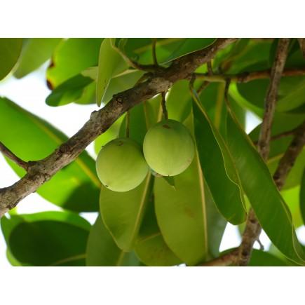 Tamanu (huile végétale de)